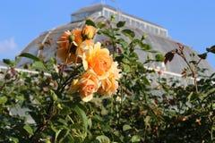在棕榈树议院的香水月季在Kew庭院里 免版税图库摄影