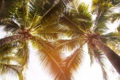 在棕榈树,顶视图的椰子 免版税库存照片