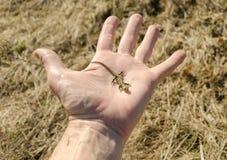 在棕榈的小的蜥蜴 库存图片