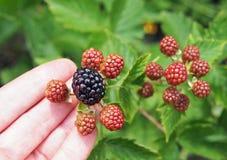 在棕榈的庭院黑莓 免版税库存照片