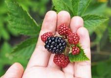 在棕榈的庭院黑莓 图库摄影