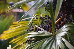 在棕榈的成熟的深蓝果子 免版税库存图片