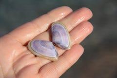 在棕榈的海壳 图库摄影