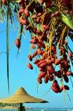 在棕榈的红色日期 免版税库存照片