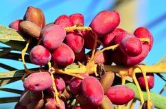 在棕榈的红色日期 免版税库存图片