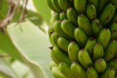 在棕榈的绿色未成熟的香蕉在种植园在大加那利岛海岛,西班牙 库存图片