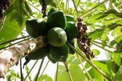 在棕榈的绿色番木瓜在种植园在大加那利岛海岛,西班牙 库存图片