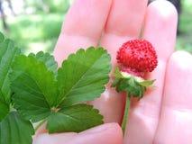 在棕榈的草莓 免版税库存图片