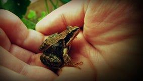 在棕榈的青蛙 免版税库存照片