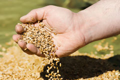 在棕榈的麦子 免版税库存图片
