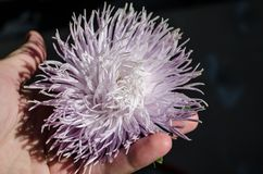 在棕榈的Multilobe紫色菊花开花的特写镜头 库存图片
