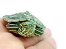在棕榈,在白色背景的特写镜头的小红有耳的乌龟, 免版税库存图片