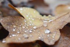 在棕色叶子的水滴 图库摄影