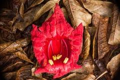 在棕色叶子的红色花 库存图片