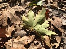 在棕色叶子顶部的一片绿色叶子 库存照片