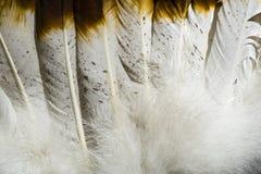 在棕色和白色的当地美洲印第安人羽毛 库存图片