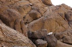 在棕色岩石的白色头骨 图库摄影