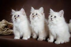 在棕色背景的三只内娃化妆舞会小猫 库存照片