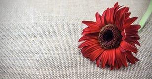 在棕色背景的红色花 免版税库存图片