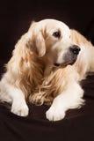 在棕色背景的纯血统金毛猎犬狗 免版税库存照片