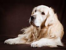 在棕色背景的纯血统金毛猎犬狗 免版税图库摄影