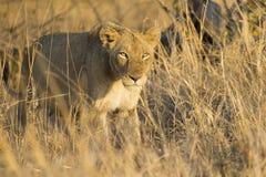 在棕色草的雌狮移动杀害 免版税库存照片