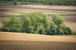 在棕色领域之间的绿色树丛 免版税图库摄影