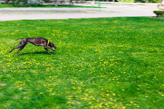 在棕色颜色公园尾随赛跑和光滑头发 库存图片
