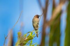 在棕色颜色的鳞状breasted Munia鸟与在乳房的标号 免版税库存照片
