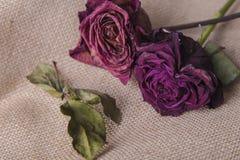 在棕色织地不很细背景的两朵玫瑰花 免版税库存图片