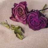 在棕色织地不很细背景的两朵玫瑰花 库存照片