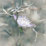 在棘手的灌木困住的被压迫的易碎的野花 图库摄影