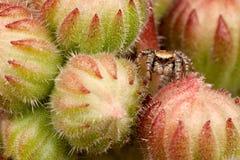 在棘手的芽之间的跳跃的蜘蛛 库存图片