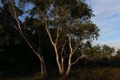 在森林中间的树有绿色作用的 免版税库存照片