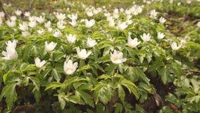 在森林公园,生态增长,从事园艺的白色森林春天花银莲花属