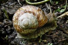 在森林公路的蜗牛 免版税库存图片