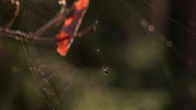 在森林关闭的蜘蛛网 股票视频