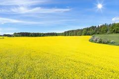 在森林前面的开花的油菜籽领域 库存图片