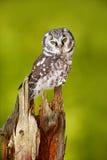 在森林北方猫头鹰的猫头鹰, Aegolius funereus,坐落叶松属树树干有清楚的绿色森林背景 野生生物场面f 免版税库存图片