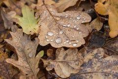 在森林和水下落的橡木干燥叶子 免版税图库摄影