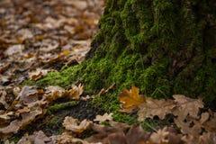 在森林和水下落的橡木干燥叶子 库存照片