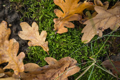在森林和水下落的橡木干燥叶子 免版税库存图片