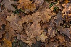 在森林和水下落的橡木干燥叶子 免版税库存照片