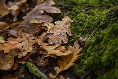 在森林和水下落的橡木干燥叶子 图库摄影