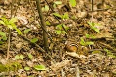 在森林地板上伪装的东部花栗鼠 免版税库存图片