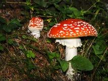 在森林地板上的两五颜六色的蛤蟆菌 免版税库存照片
