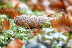 在森林地板上的冷杉球果 秋天背景特写镜头上色常春藤叶子橙红 库存图片