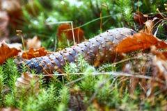 在森林地板上的冷杉球果 秋天背景特写镜头上色常春藤叶子橙红 免版税图库摄影