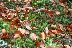 在森林地板上的冷杉球果 秋天背景特写镜头上色常春藤叶子橙红 免版税库存图片
