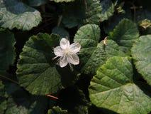 在森林地板上的唯一精美白花 免版税库存照片